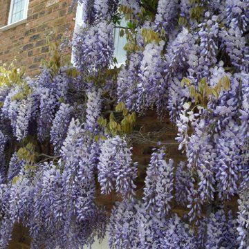 wisteria-on-house